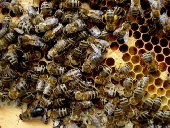 Bienenauf Pollenwaben2